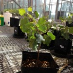 A small poplar tree being grown in a greenhouse as a way to research how inoculated fares under drought stress.