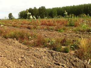 Rows of poplar trees that are being used for phytoremediation.