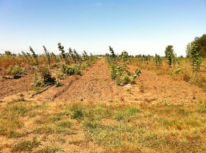 Facing rows of poplar trees that are being used for phytoremediation.