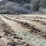 The Pilchuck fiedl with the rows where the poplar will be planted being tilled by the ripping machine. The rows have brown clumps of soil in constrast to the grass between the rows.