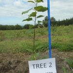 A young poplar tree next to a blue measuring stick with a white, paper sign in front of it identifying which research trial it is a part of.