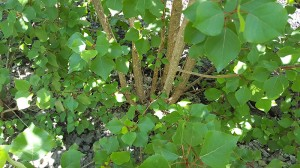 Looking down through the green leaves at the coppiced stump of a poplar tree. It has at least 6 regrowth stems.