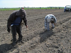 Two workers bending over to plant the poplar cuttings in the ground at the Clarksburg site.