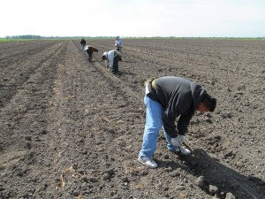 Five workers moving down a row in the Clarksburg field, planting poplar.