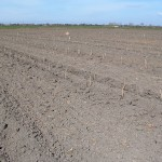 The poplar cuttings planted in rows in the Clarksburg field.