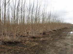 A view looking down the line of coppiced poplar trees in winter. It is clearly visible that each tree has multiple regrowth stems.