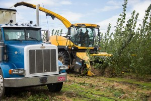 A close up of the yellow harvester cutting down the trees at Hayden and dumping the woodchips into a blue truck following behind the harvester.