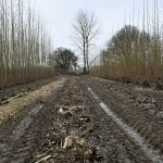 Looking down the line of a harvested row of poplar trees, the coppiced stumps remaining in the muc between the tire tracks of the harvester. On the left and right are two more rows of poplar; one harvested and one with trees still standing.