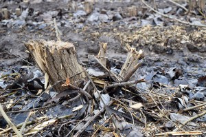 Close-up view of a coppiced stump after the second harvest. It has 4 regrowth stems.