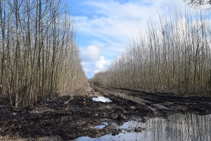 Several rows of harvested trees in between the unharvested rows. The field is muddy and the puddles of water are reflecting the blue sky. Sun is shining on the still standing poplar trees.
