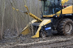 Side, close-up view of the yellow harvester mowing down and chipping a coppiced poplar tree.