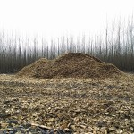 A pile of wood chips in the foreground with the yet-to-be-harvested, coppiced poplar trees in the background.