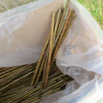 A box filled with the poplar cuttings to be planted.