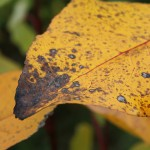 A poplar leaf in fall: yellow, with red veins and brown spots. It is clear in the foreground and blurred in the background are two other yellow leaves against a green backdrop.