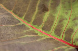A close-up of the veins of a brown leaf. The vein is pink and between the pink and brown there is the regular lime green of the leaf that shows through.