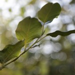A close-up of one branch of a poplar tree with three leaves. The background of the photo is blurry circles of white and green colored light.