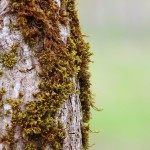 Close-up of brown and green moss growing on the trunk of a poplar tree.