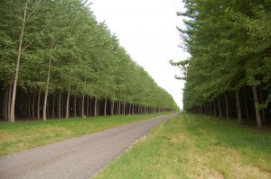 Looking down a road with tall, mature poplar trees growing on both sides of it.