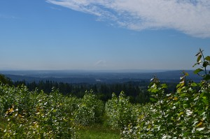 View looking down a row of poplars at Pilchuck Field 3 with the valley in the background and Mt. Ranier against a blue sky.
