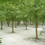 Field of poplar trees in Eugene, Oregon. The ground is covered in white cotton.