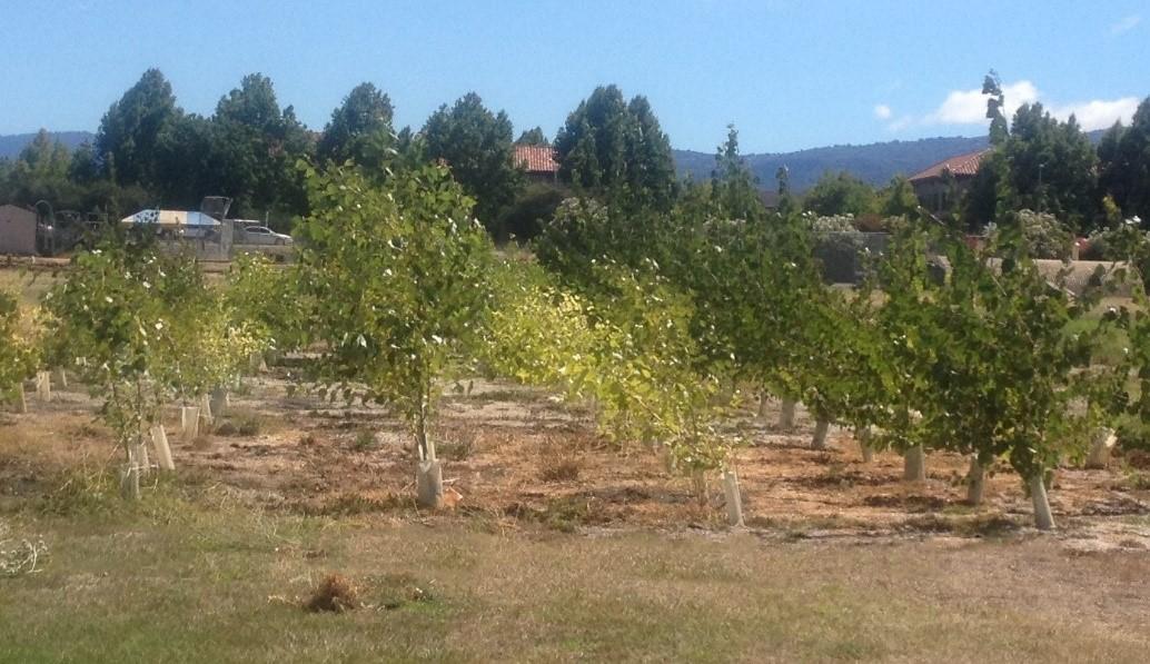 Four rows of poplar trees