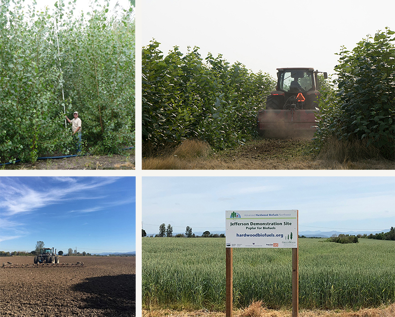 Top left: a man standing in front of poplar that tower over him. Top right: the restoration machine cutting down the trees. Bottom left: the empty field. Bottom right: winter wheat growing in the Jefferson field