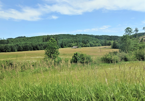 A field of grass under a blue sky with green forestland in the background.