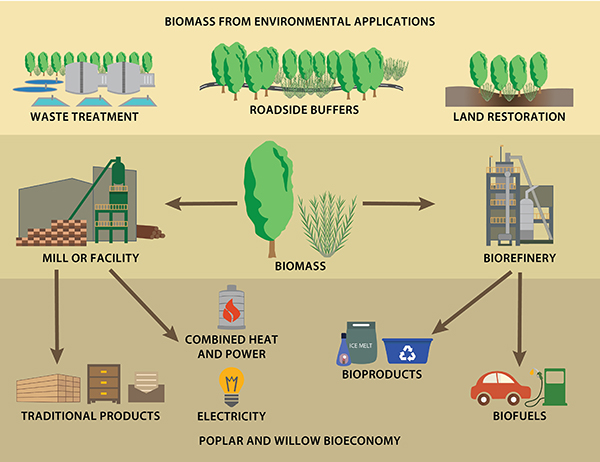 Graphic of poplar and willow for environmental applications and for the bioeconomy
