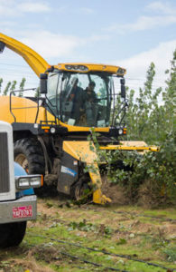 Harvester cutting down poplar trees