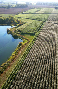 Aerial view of a poplar tree plantation next to a river