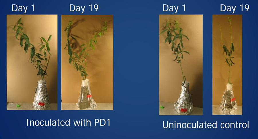 A sample of inoculated poplar on day 1 and day 19 compared with a pictures of uninoculated poplar on day 1 and day 19.