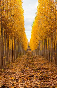 Rows of mature poplar trees in fall, with yellow leaves