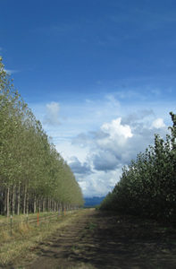 Mature poplar trees on the left and young poplar trees on the right.