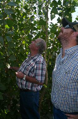 Bob and Bobby Kirtlan looking at their poplar trees