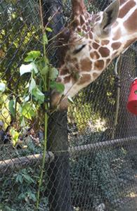 A giraffe eating poplar