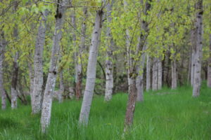 Poplar trees at the former Duvall landfill