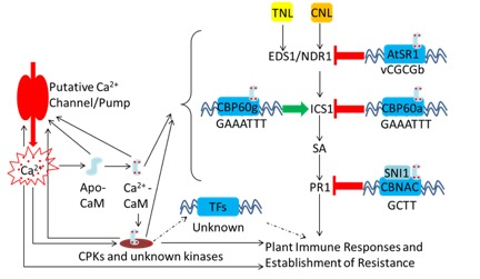 Illustration of perception and feed-in steps of Ca2+ signals in the regulatory network of plant immunity