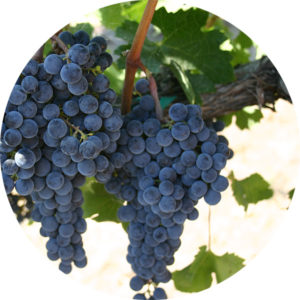 Picture of Pinot noir grape clusters on a grapevine