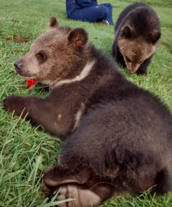 A bear cub relaxing in the grass.