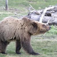 A bear walking across the grass.