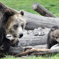 Mother bear and cub exploring near some fallen logs.