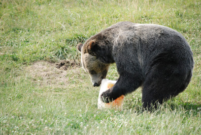 A bear playing with a ice block filled with fruit.