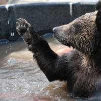 A bear in a large tub of dirty water.