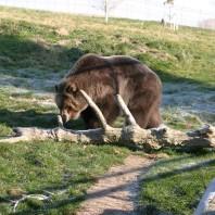 A bear walking near a log in the bear enclosure.