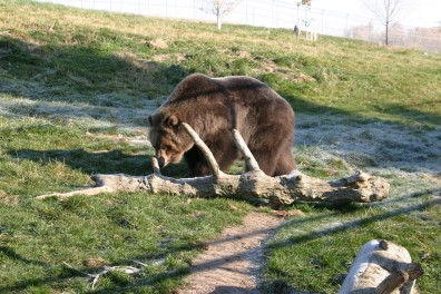 A bear walking near a log in the bear enclosure.