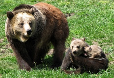 A mother bear with her two cubs who are wrestling.