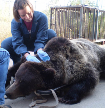 A researcher examines a bear