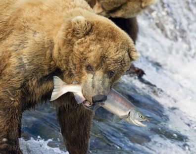 A bear clutching a salmon in its mouth while above fall in a stream..