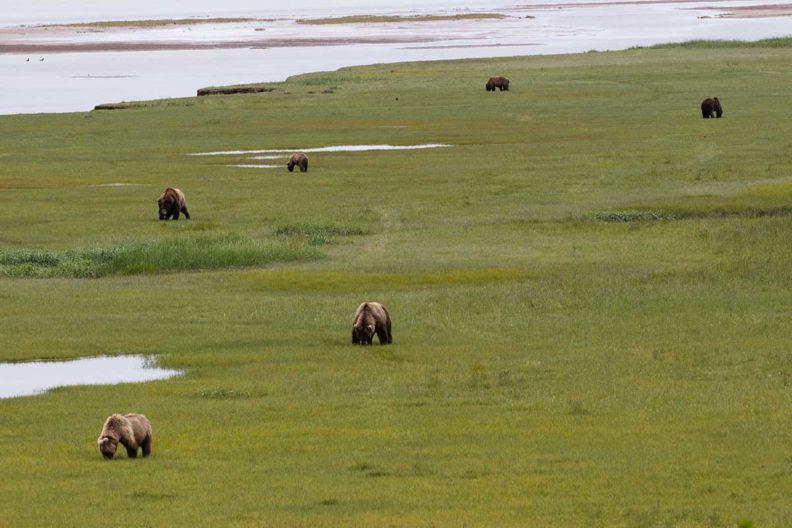 Six bears foraging in a grassy field near water.