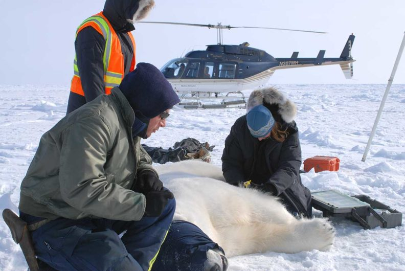 Three researchers working on a drugged polar bear in a snowy field with a helicopter in the background.